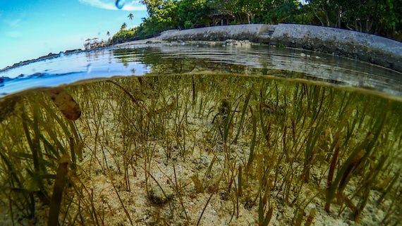 world s biggest fisheries supported by seagrass meadows news