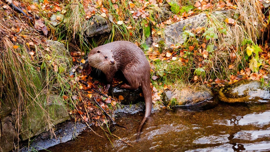 Image of European otter