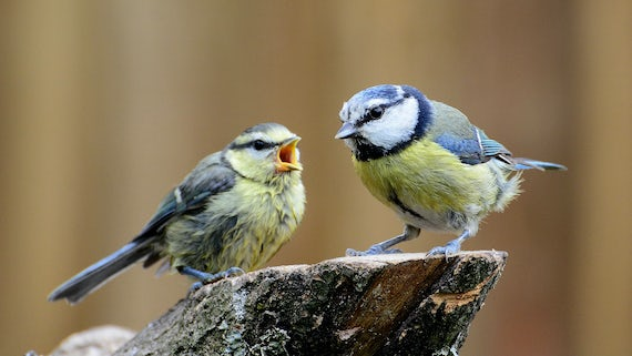 Pair of bluetits