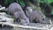 Two Eurasian otters in wood