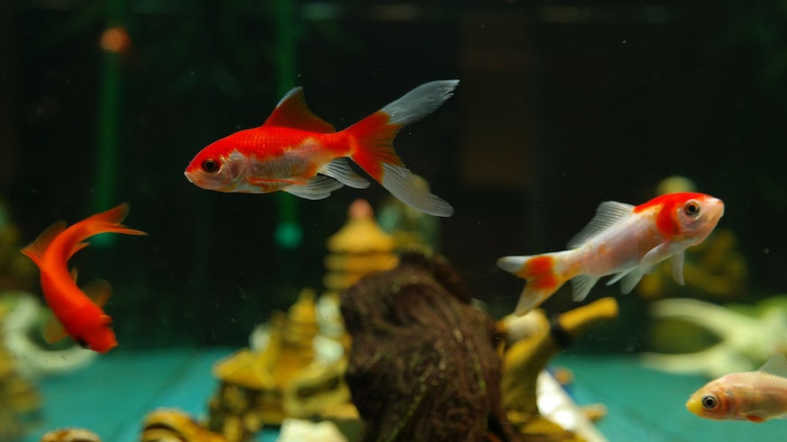 Gold fish in tank