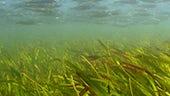 Seagrass meadows