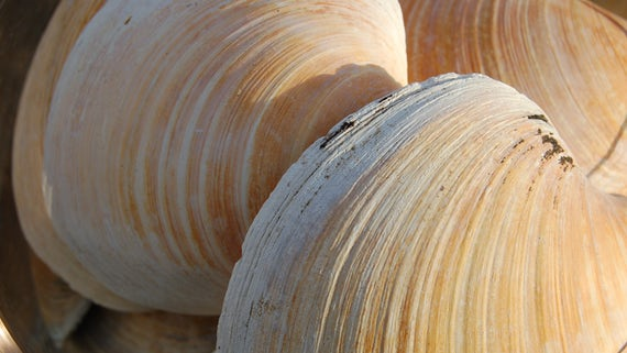 quahog clam