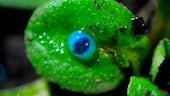 eDIB leaf