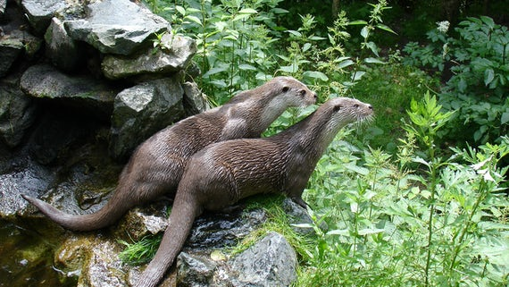 Image of two European otters