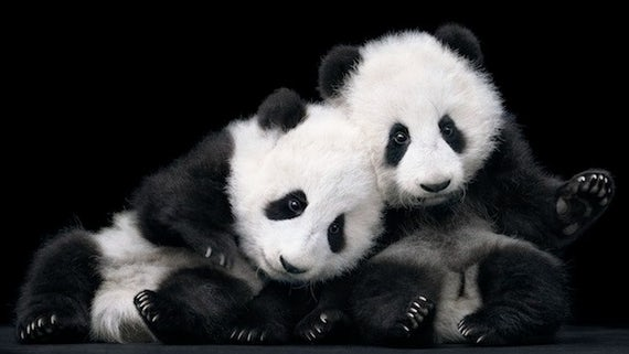 Panda cubs photo credit Tim Flach
