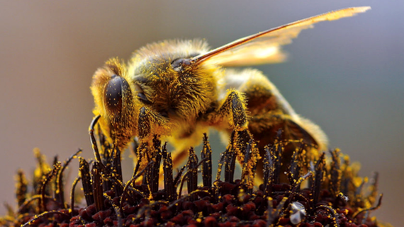 Close up of bee covered in pollen