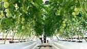 Phytoponics tomatoes