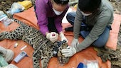 Clouded leopard and team
