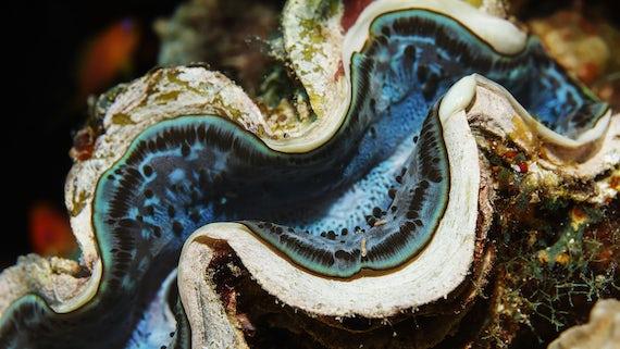 Ocean clam