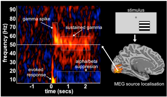 This graph depicts the complex response phenomenology in the brain, measuring gramma spikes, sustained gamma, evoked response and alpha/beta suppression.