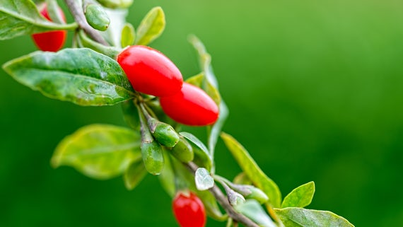 Photograph o fa Goji plant with berries