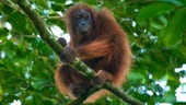Protecting the endangered Orang-Utan