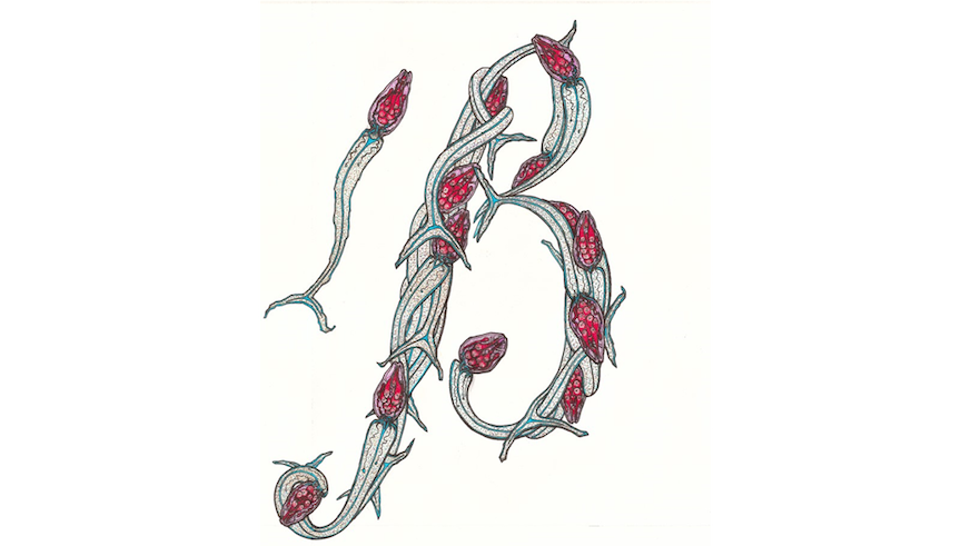 Entwined transmission stages (cercariae) of parasites from the Schistosoma genus