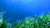 Seagrass in Indonesia