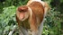 Protection of swamp forests is vital for survival of endangered proboscis monkey