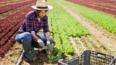 woman working in lettuce field