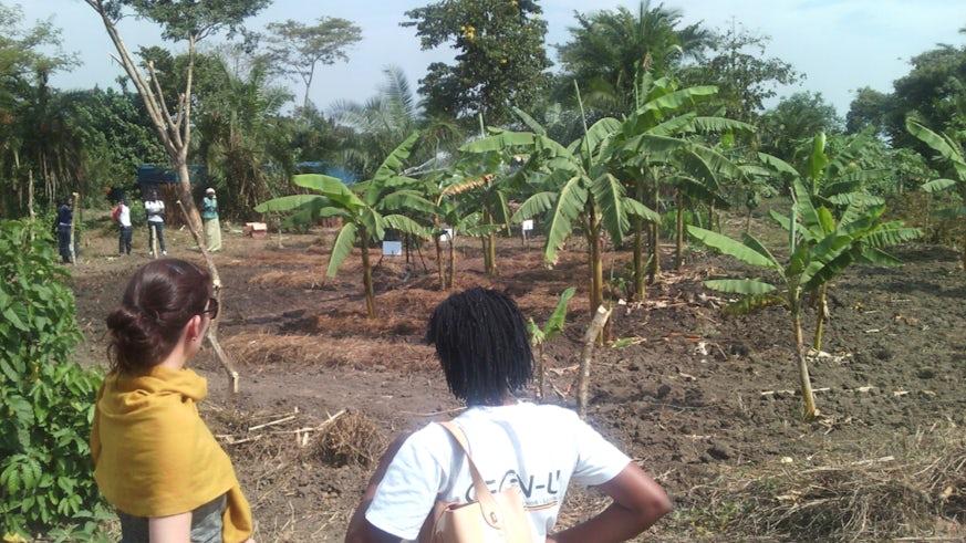 Banana trees shading mint on Uganda cropland