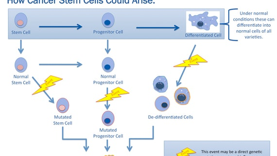 Diagram showing how cancer stem cells could arise