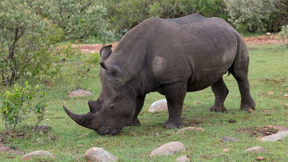 Image of a northern white rhino