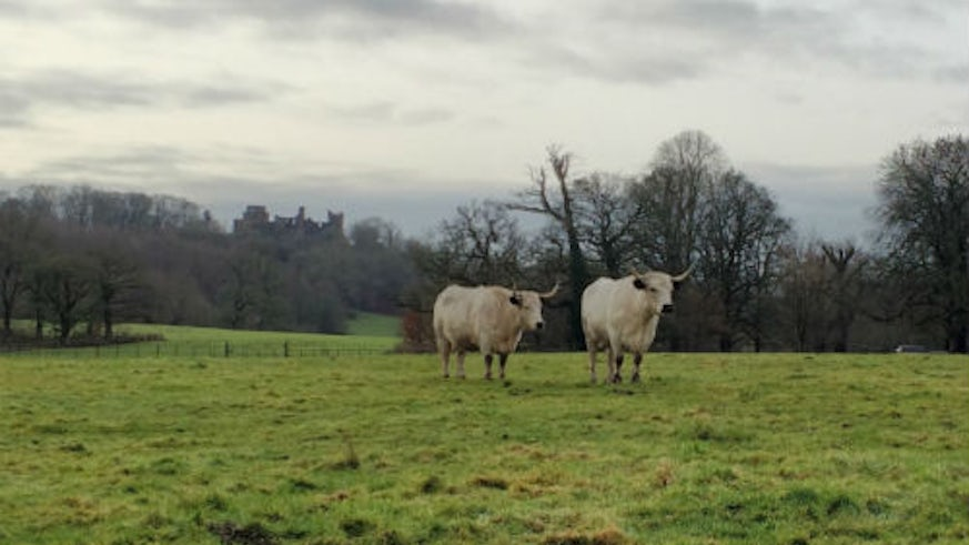 White Park cattle at Dinefwr