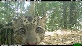 : Camera trap picture of a Sunda clouded leopard