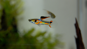 Colourful guppy fish