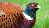 Pheasant Bird