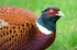 Pheasants are 13 times more likely to die on roads than other birds.