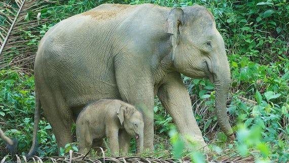 Bornean Elephants