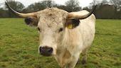 Cattle stood in green field