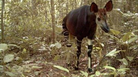 Congolese Okapi