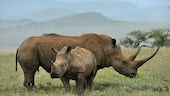 Mother and baby black rhinos