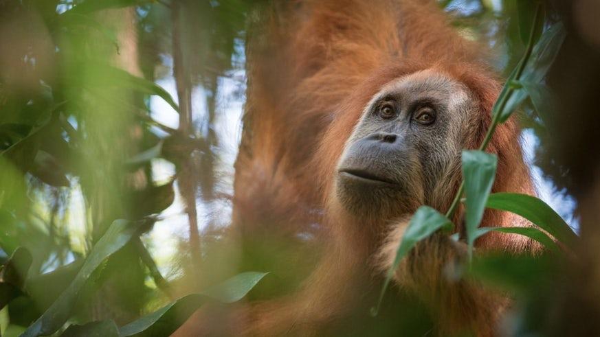 Photograph of Tapanuli Orangutan