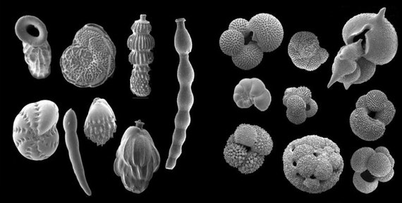 Black and white image of fossil plankton