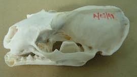 Otter crest skull