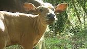 A young banteng