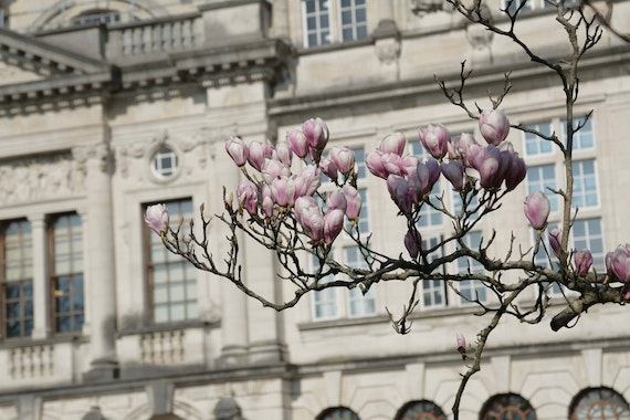 A flowering tree in front of Main Building