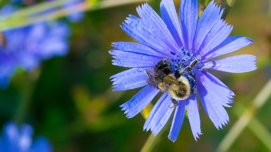Honey Bee covered with pollen on a blue corn flower - stock photo