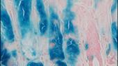 Frizzled7 (Fzd7) receptor