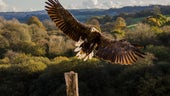 Image of a white tail eagle
