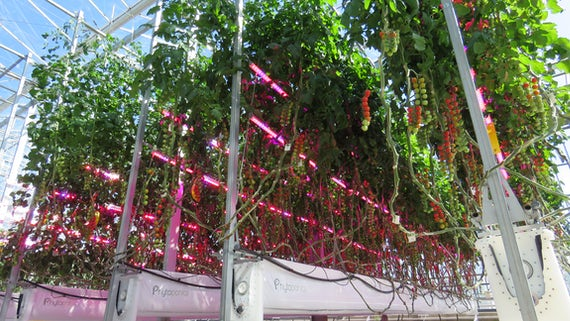 Phytoponics tomato growing