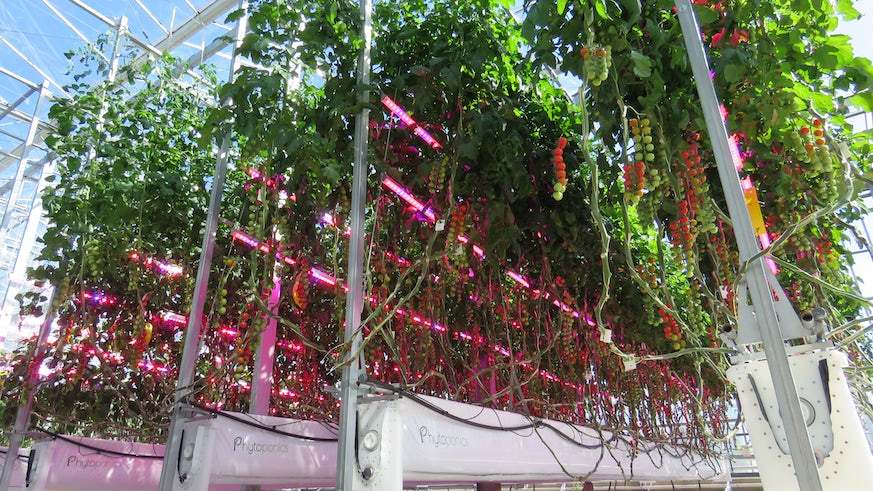 Phytoponics tomato growing
