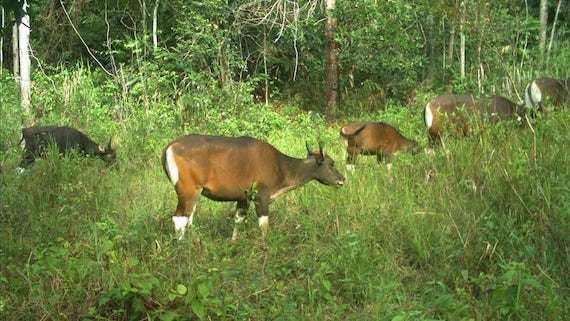 Image of a banteng