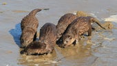Group of otters on sand