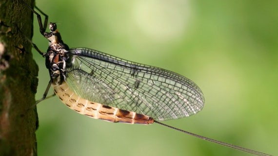 Ephemera danica Green Drake