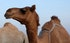 Ancient caravan routes may be responsible for the genetic diversity of dromedary camels.
